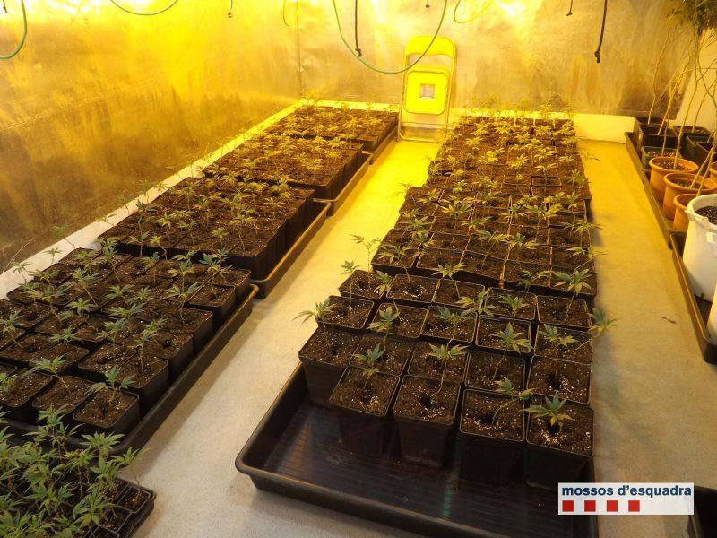 Quatre detinguts en desmantellar un cultiu de 1.314 plantes de marihuana en un pis a Viladecavalls